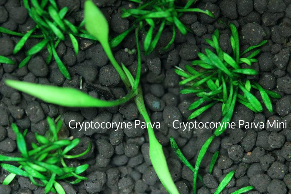 Cryptocoryne Parva & Cryptocoryne Parva Mini