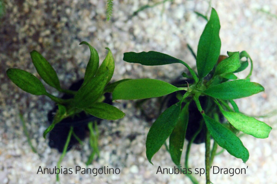 Anubias sp. 'Dragon' VS Anubias Pangolino