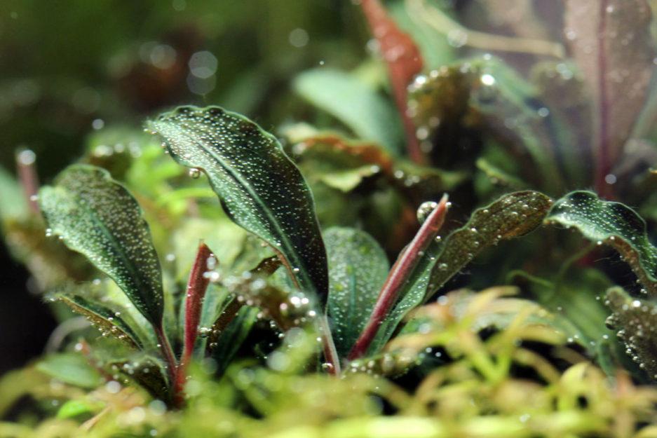 Bucephalandra sp. 'Red Mini'