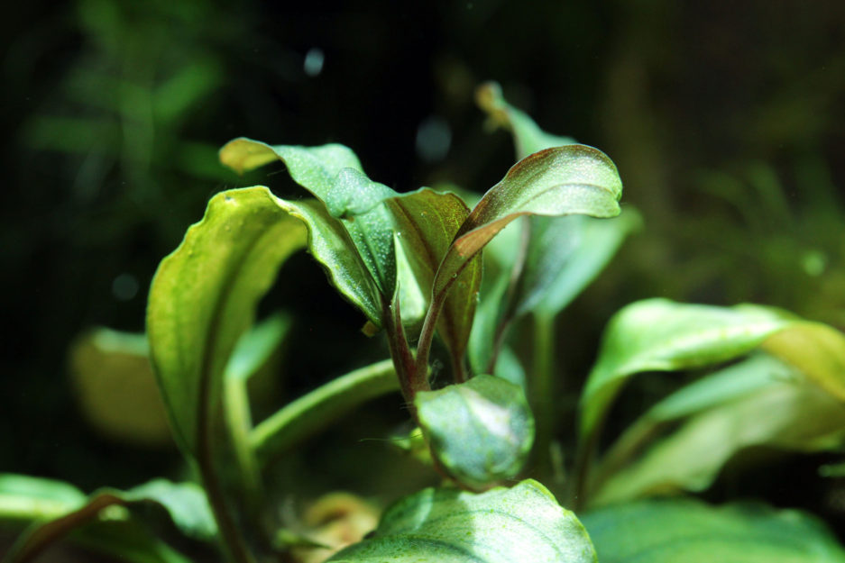 Bucephalandra sp. 'Theia'