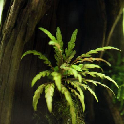 Hygrophila sp. 'Ratnagiri'