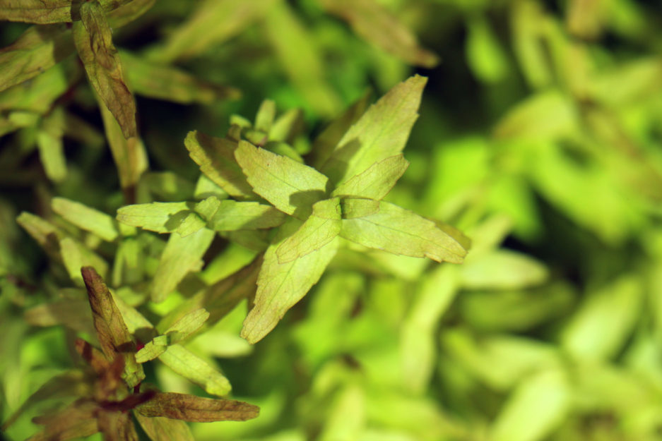 Rotala Butterfly Type 3