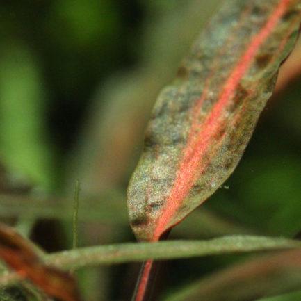 Cryptocoryne Jacobsenii 'Pink'