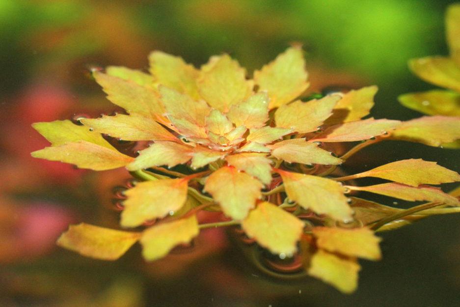 Ludwigia Sedioides - Mosaic Plant