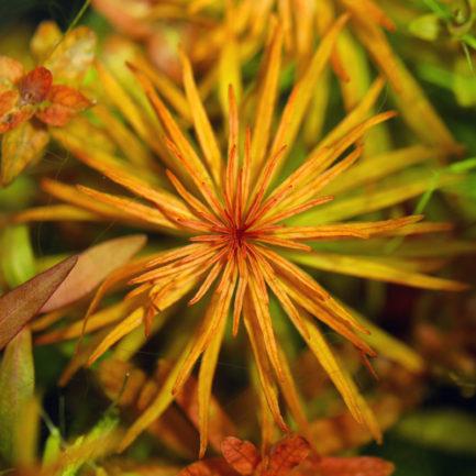 Ludwigia Inclinata var. Verticillata 'Pantanal'
