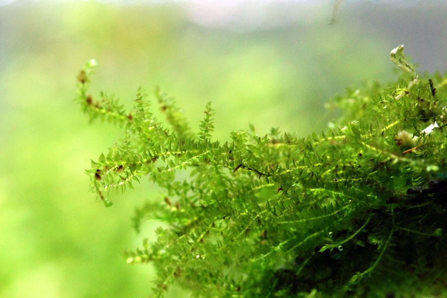 Serian Moss