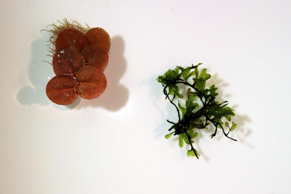 Crepidomanes sp. 'Calicut'
