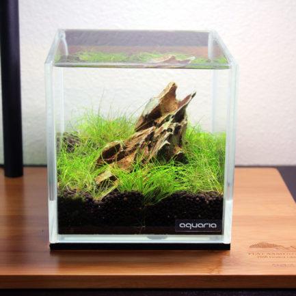 Dwarf Hair Grass - Eleocharis Parvula
