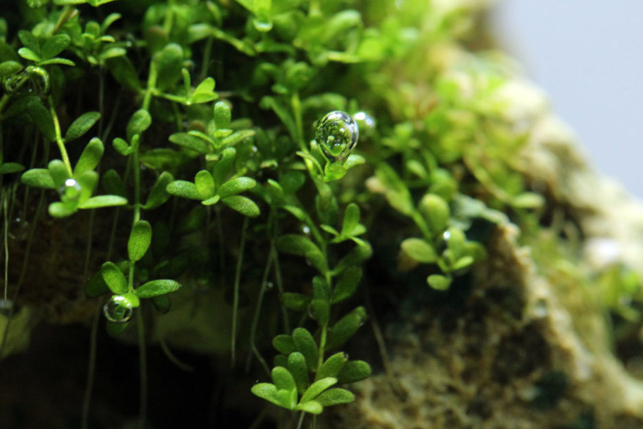 Dwarf Baby Tears - Hemianthus Callitrichoides 'Cuba'