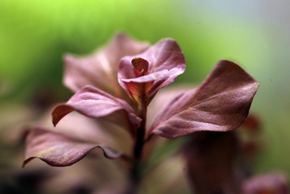 Ludwigia Ovalis 'Pink'