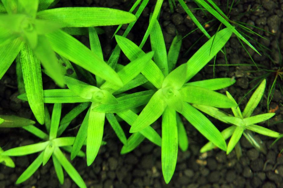 Syngonanthis Caulesce