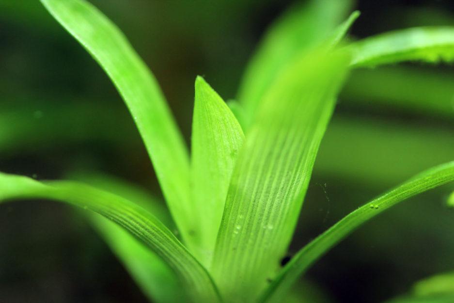 Syngonanthus Caulescens