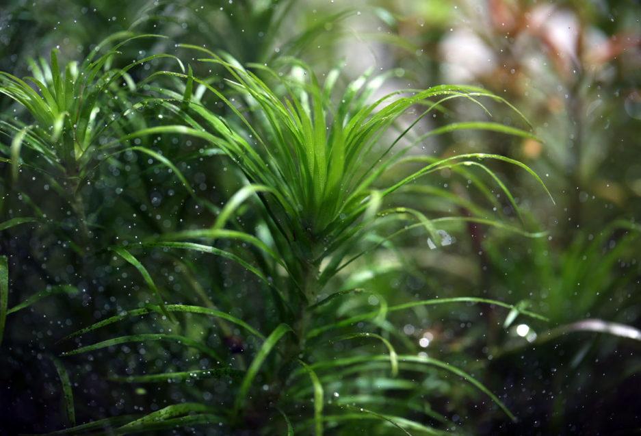Syngonanthus sp. 'Lago Grande'