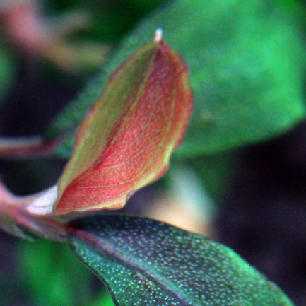 Bucephalandra sp. 'Pandora Queen'
