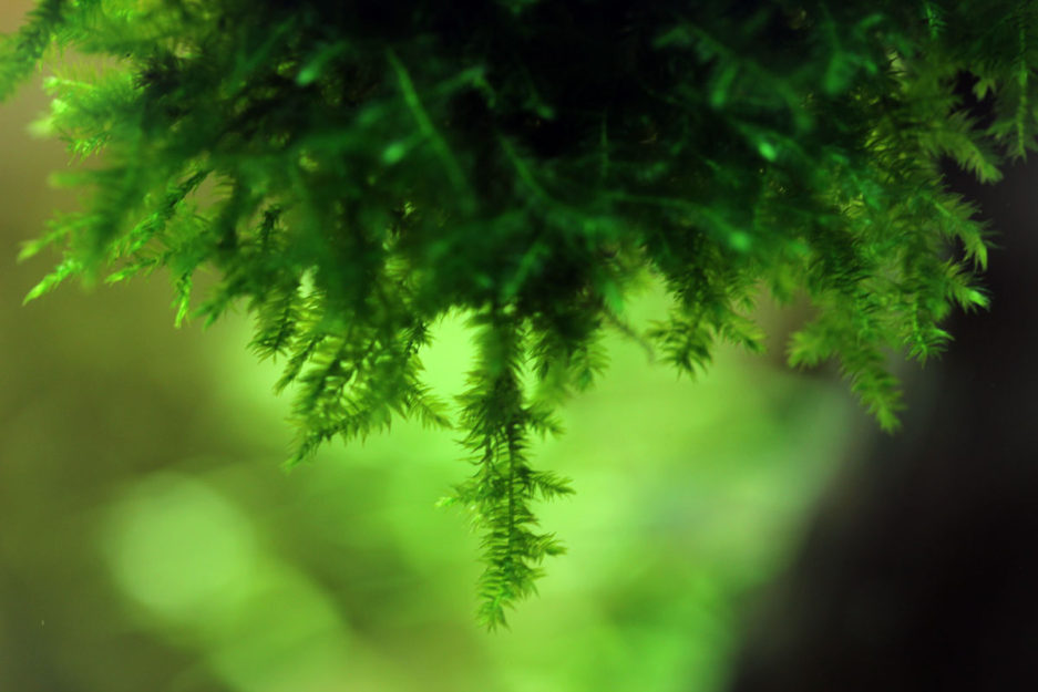 Pointed Spear Moss