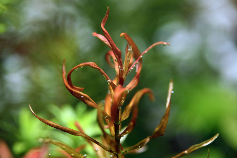 Rotala sp. 'Red Cross'