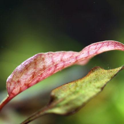 Cryptocoryne sp. 'Pangkal Pinang'
