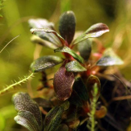 Bucephalandra Tricolor KN