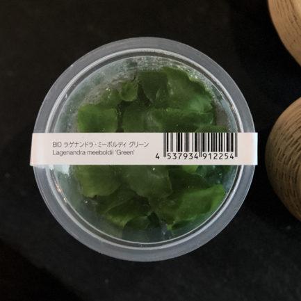 Lagenandra Meeboldii 'Green'