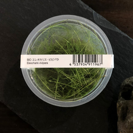 Long Hairgrass - Eleocharis Vivipara