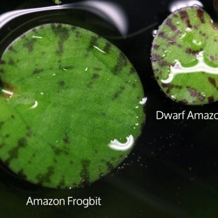 Amazon Frogbit VS Dwarf Amazon Frogbit