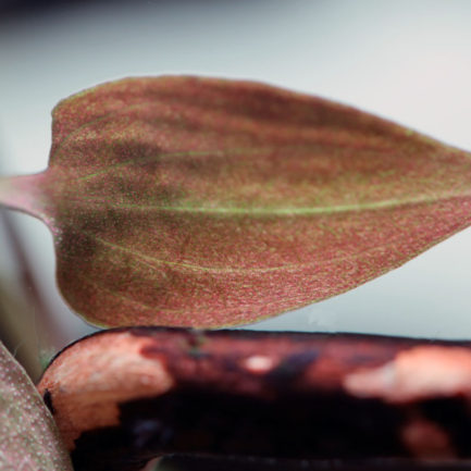 Cryptocoryne Matakensis Brown
