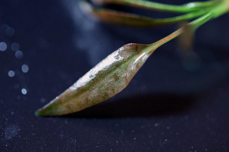 Cryptocoryne Pontederiifolia 'Red Lips'