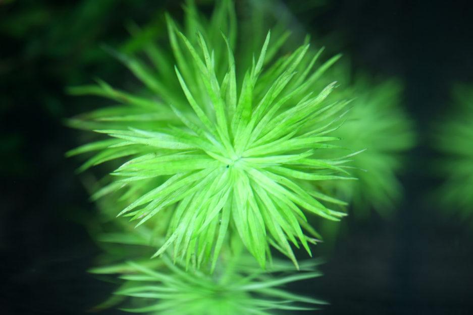 Syngonanthus sp. 'Manaus'