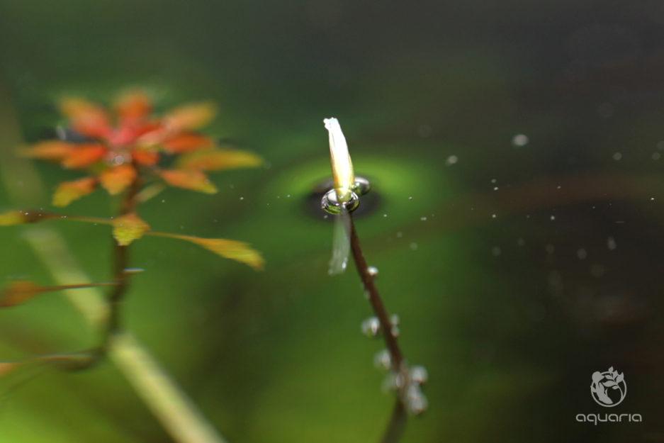 Blyxa sp. 'Novoguineensis' Flower
