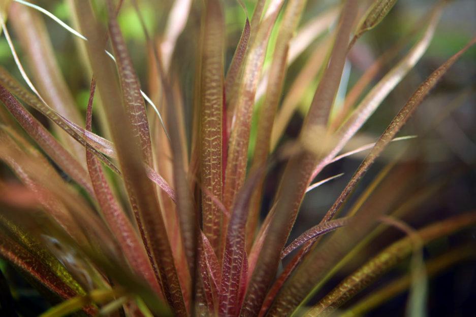 Blyxa sp. 'Novoguineensis'