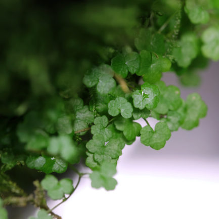 Hydrocotyle Tripartita 'Mini'