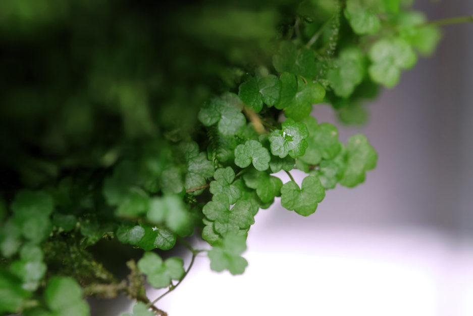 Hydrocotyle Tripartita 'Mini'