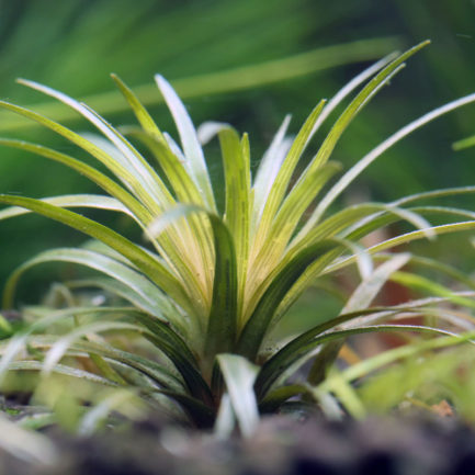 Syngonanthus sp. 'Vichada'
