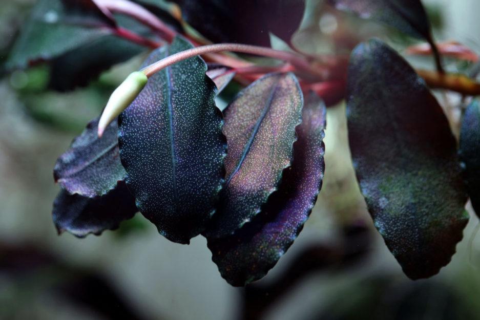 Bucephalandra Brownie Ghost Purple 2008