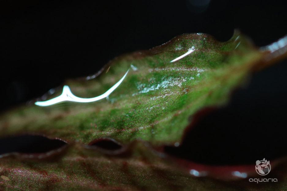 Cryptocoryne Nurii Rosen Maiden