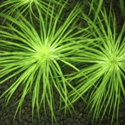 Eriocaulon sp. 'Kimberley Narrow Leaf'